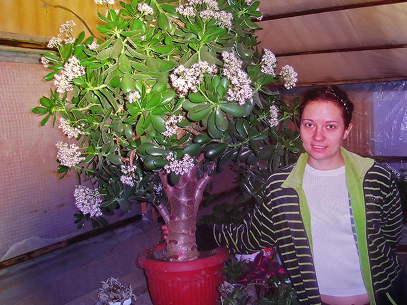 Денежное дерево уход и выращивание в домашних условиях 25