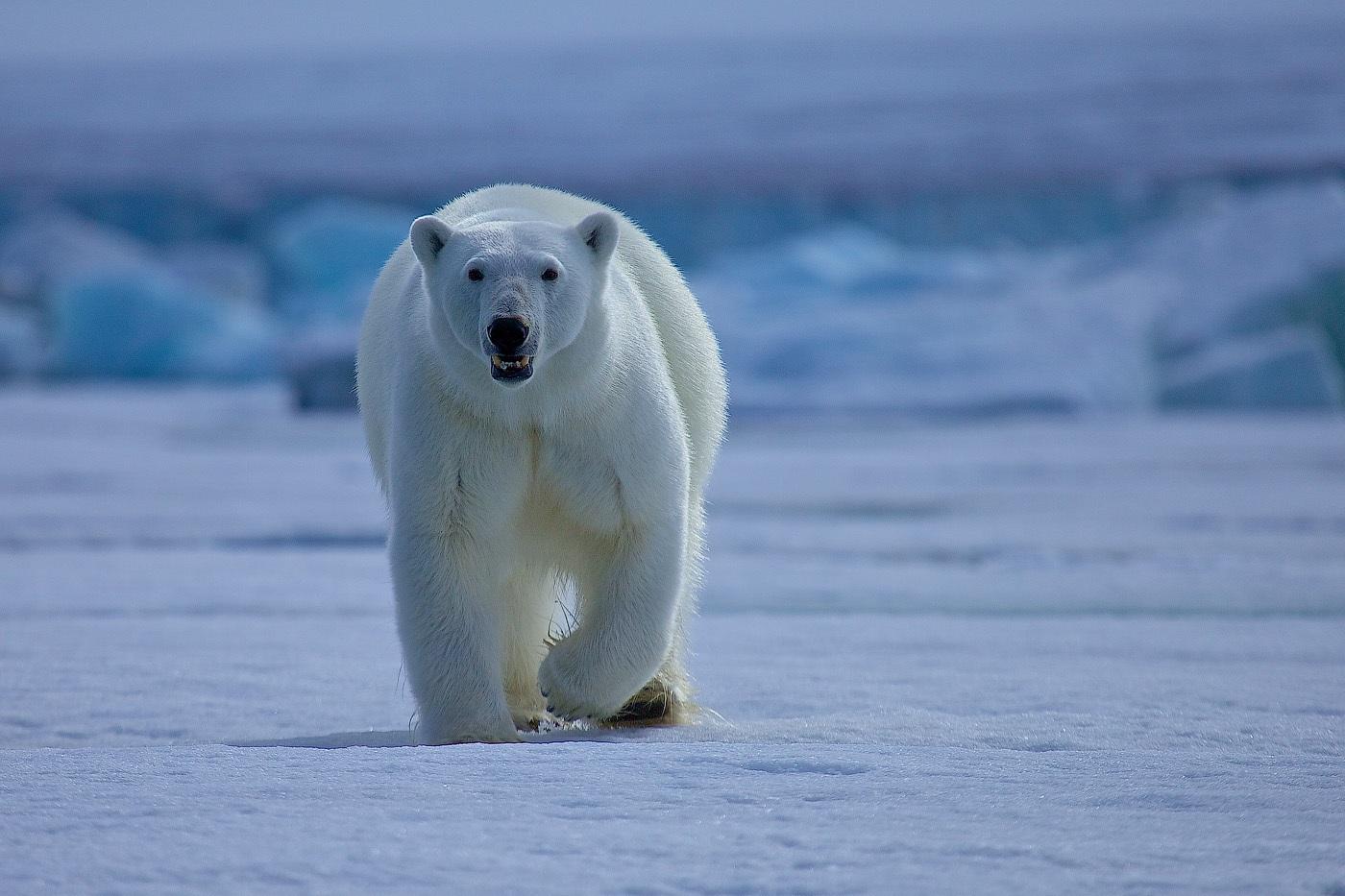 Animales que viven en el Ártico. Por qué en la Antártida no hay osos ...