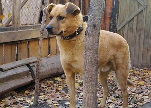 Породы собак для охраны частного дома фото