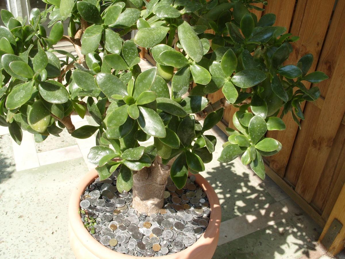 Как посадить Денежное дерево (Толстянку) правильно 96